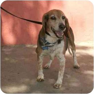 Beagle/Basset Hound Mix Dog for adoption in Denver, Colorado - Willie