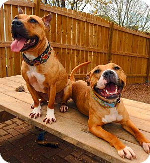 Staffordshire Bull Terrier/American Pit Bull Terrier Mix Dog for adoption in O'Fallon, Missouri - Braveheart (F) and Wombat (M)