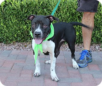 American Pit Bull Terrier Mix Puppy for adoption in Las Vegas, Nevada - SWIRLIX