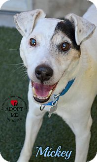 Jack Russell Terrier Mix Dog for adoption in Youngwood, Pennsylvania - Mickey