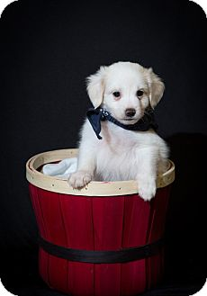 Maltese/Jack Russell Terrier Mix Puppy for adoption in Coventry, Rhode Island - Carson