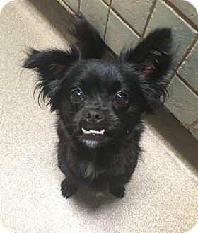 Shih Tzu/Chihuahua Mix Dog for adoption in Boca Raton, Florida - Bella