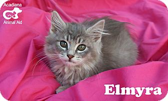 Domestic Mediumhair Kitten for adoption in Carencro, Louisiana - Elmyra