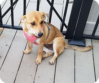 Corgi/Chihuahua Mix Puppy for adoption in Sharon, Connecticut - Maya