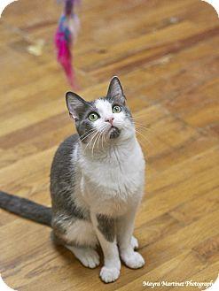 Domestic Shorthair Cat for adoption in Marietta, Georgia - Gibson