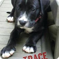 Adopt A Pet :: Trace - GREENLAWN, NY