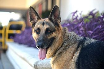 German Shepherd Dog Dog for adoption in San Diego, California - Mozart