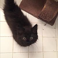 Adopt A Pet :: Baz - Sterling Hgts, MI