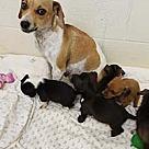Adopt A Pet :: Diamond's Pup 1