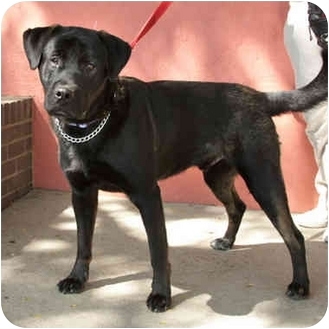 Rottweiler Mix Dog for adoption in Denver, Colorado - Dante