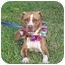 Photo 1 - Pit Bull Terrier Dog for adoption in Boca Raton, Florida - Chocolate