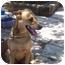 Photo 2 - Labrador Retriever/Shepherd (Unknown Type) Mix Dog for adoption in Fair Oaks Ranch, Texas - Tandy