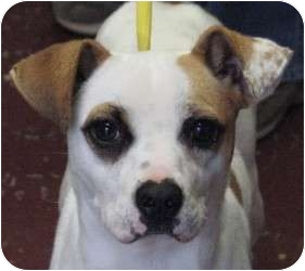 Parson Russell Terrier Mix Dog for adoption in East Hartland, Connecticut - Suzie