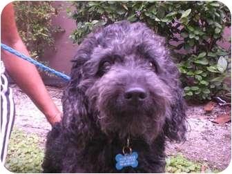 Poodle (Standard) Dog for adoption in Coral Springs, Florida - Barney