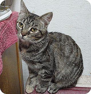 Domestic Shorthair Cat for adoption in MADISON, Ohio - Dora