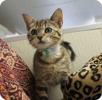 Domestic Shorthair Kitten for adoption in Lunenburg, Massachusetts - Poppette #2