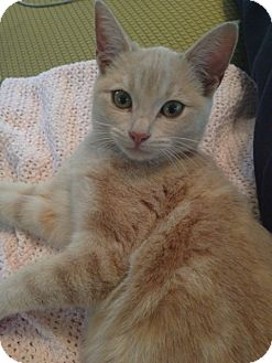 British Shorthair Kitten for adoption in Los Angeles, California - Maggie