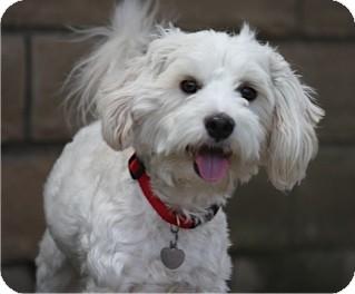 Cockapoo Mix Dog for adoption in Salt Lake City, Utah - CLYDE