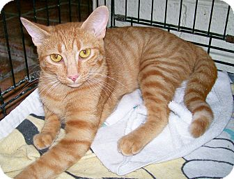 Domestic Shorthair Cat for adoption in Scottsdale, Arizona - Waffles