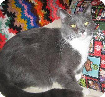 Domestic Shorthair Cat for adoption in Chandler, Arizona - Munchkin