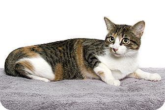 Domestic Shorthair Cat for adoption in Royal Oak, Michigan - LAVERNE