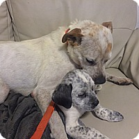 Adopt A Pet :: Mama Faith - Westminster, CO