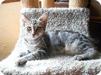 American Shorthair Kitten for adoption in Richland, Michigan - Tauri