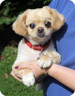 Pekingese Dog for adoption in Harrison, New York - Bradley
