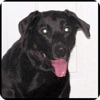 Labrador Retriever Dog for adoption in Kirkland, Quebec - Mikey