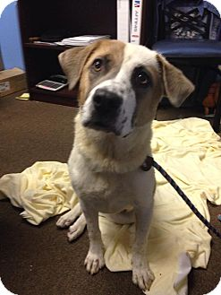 Australian Shepherd/Pointer Mix Dog for adoption in Lebanon, Connecticut - Dove