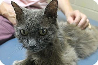 Domestic Longhair Cat for adoption in Mt Sterling, Kentucky - Shelly