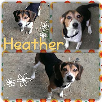 Beagle Dog for adoption in Springfield, Vermont - Heather