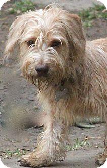 Cairn Terrier/Wheaten Terrier Mix Dog for adoption in Allentown, Pennsylvania - Cowboy Bill