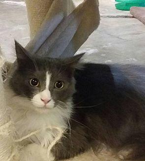 Domestic Longhair Cat for adoption in Pueblo, Colorado - Donovan