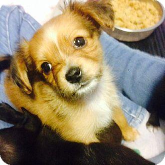Shih Tzu/Toy Fox Terrier Mix Puppy for adoption in Santa Ana, California - Peaches (ARSG)