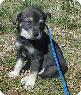 Boston Terrier/Husky Mix Puppy for adoption in Allentown, New Jersey - Maddy