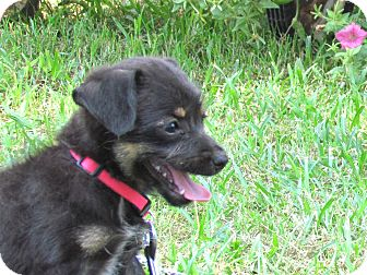 Terrier (Unknown Type, Small)/Feist Mix Puppy for adoption in Newburgh, New York - CHARM