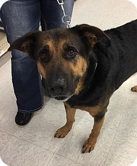 German Shepherd Dog Mix Dog for adoption in Rochester, Minnesota - Bronzon