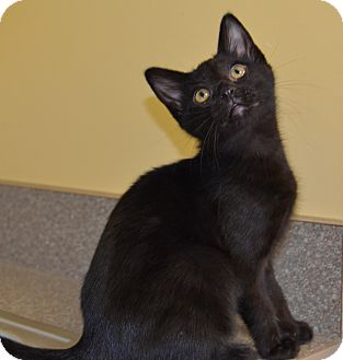 Domestic Shorthair Cat for adoption in Larned, Kansas - Marigold