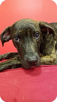 Hound (Unknown Type) Mix Puppy for adoption in Elyria, Ohio - Pongo