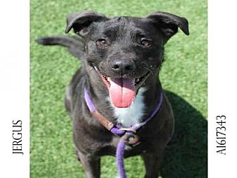 Labrador Retriever/Staffordshire Bull Terrier Mix Dog for adoption in Los Angeles, California - JERGUS