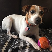 Jack Russell Terrier Dog for adoption in Silver Spring, Maryland - Kirby