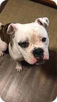 American Bulldog Mix Puppy for adoption in Florence, Kentucky - Rock