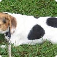 Adopt A Pet :: Cricket - Dumfries, VA