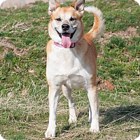 Shepherd (Unknown Type)/Akita Mix Dog for adoption in Washoe Valley, Nevada - Luna