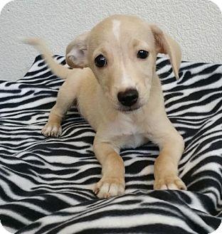Terrier (Unknown Type, Medium) Mix Puppy for adoption in Stockton, California - Biscuit