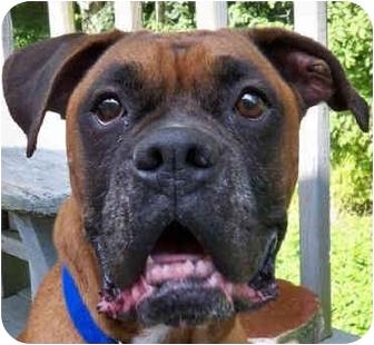 Boxer Dog for adoption in Sunderland, Massachusetts - Charlie