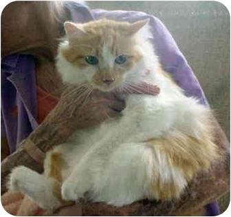Cymric Cat for adoption in Quail Valley, California - Taffy