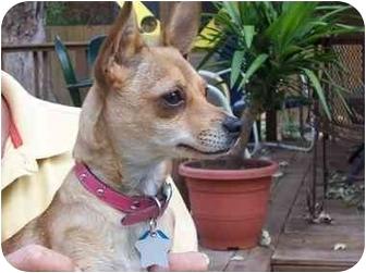 Chihuahua Mix Dog for adoption in Beavercreek, Ohio - LIBBY