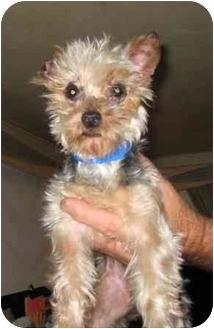 Yorkie, Yorkshire Terrier Dog for adoption in North Benton, Ohio - Rascal